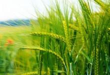 Altos niveles de CO2 reducen el valor nutritivo de los cultivos