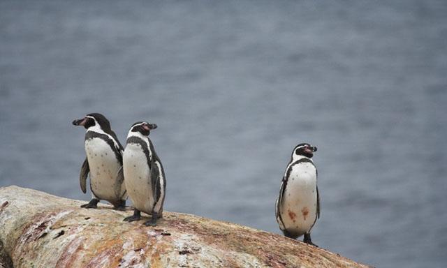 imagen-pinguino-de-humboldt