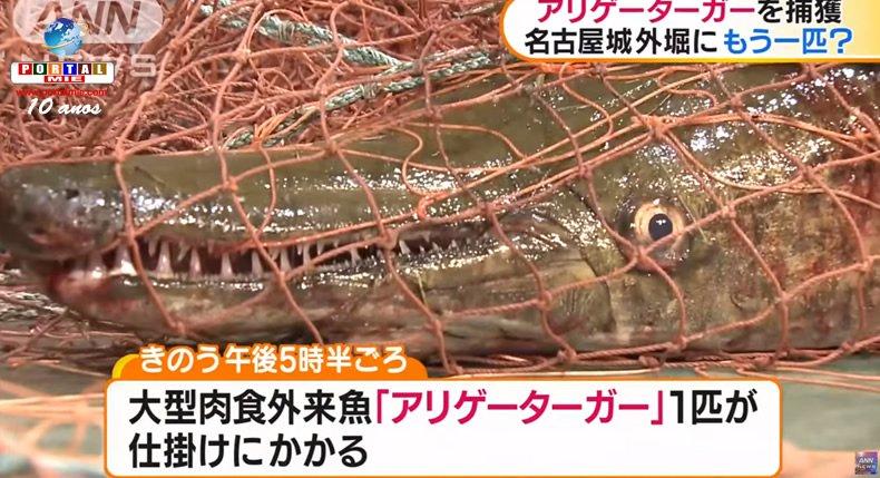 """&nbsp""""Pez caimán"""" es capturado en el Castillo de Nagoya"""