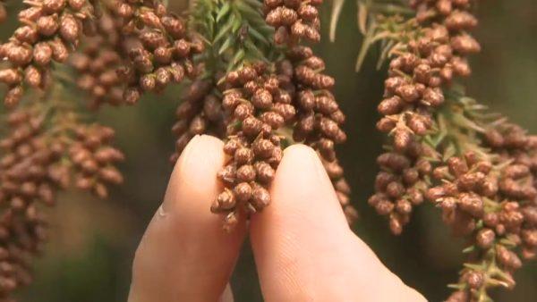 &nbspCantidad de polen alergénico podrá ser 5 veces mayor este año